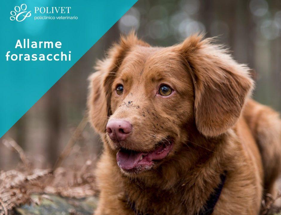 Allarme forasacchi: un pericolo insidioso per i nostri cani